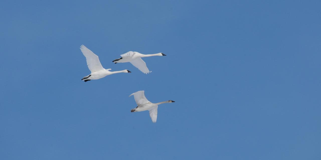 A Family of Swans in Flight