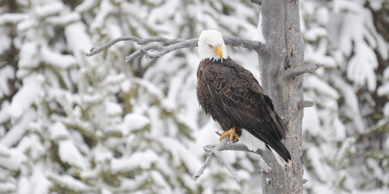 A Bald Eagle Fishing the Gibbon River